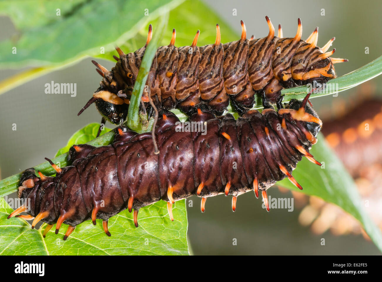 Common Eggfly caterpillars - Stock Image