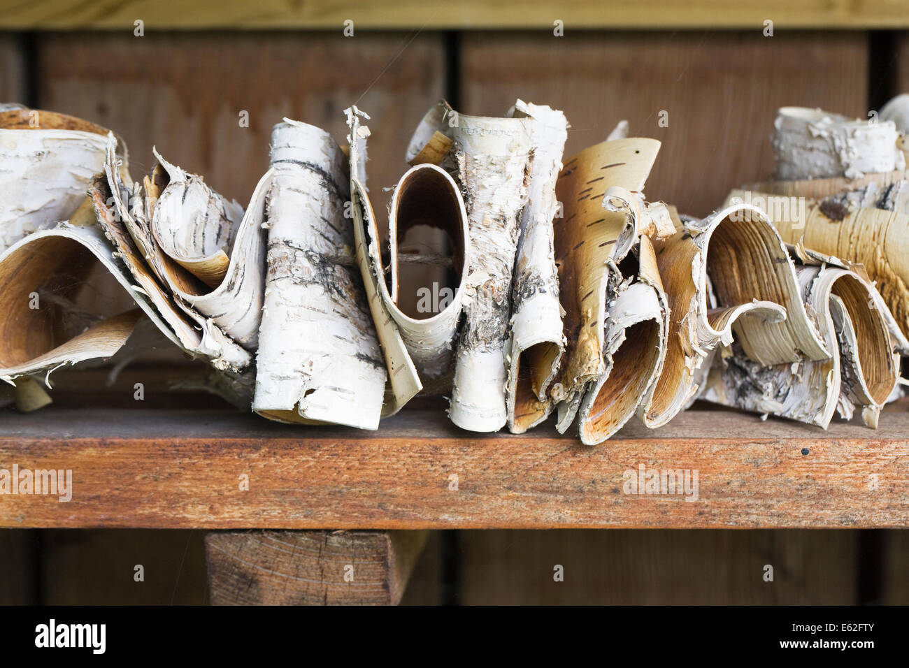 Birch Bark Insect homes. - Stock Image