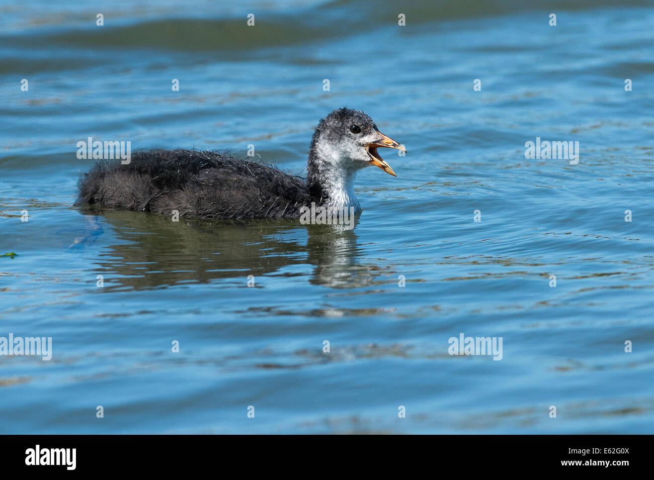 A Coot chick calling Stock Photo