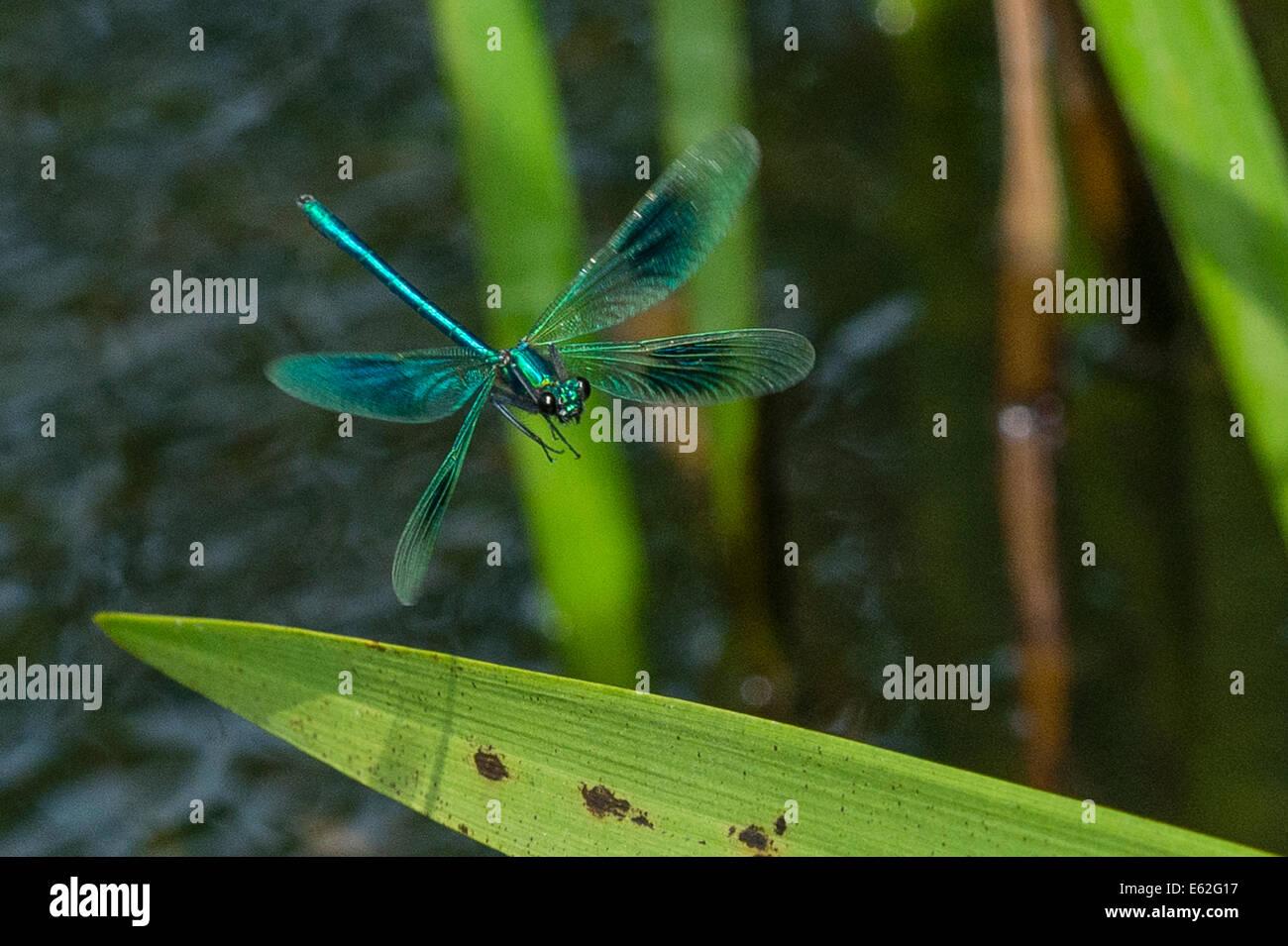 A Demoiselle Damselfly landing on a leaf Stock Photo