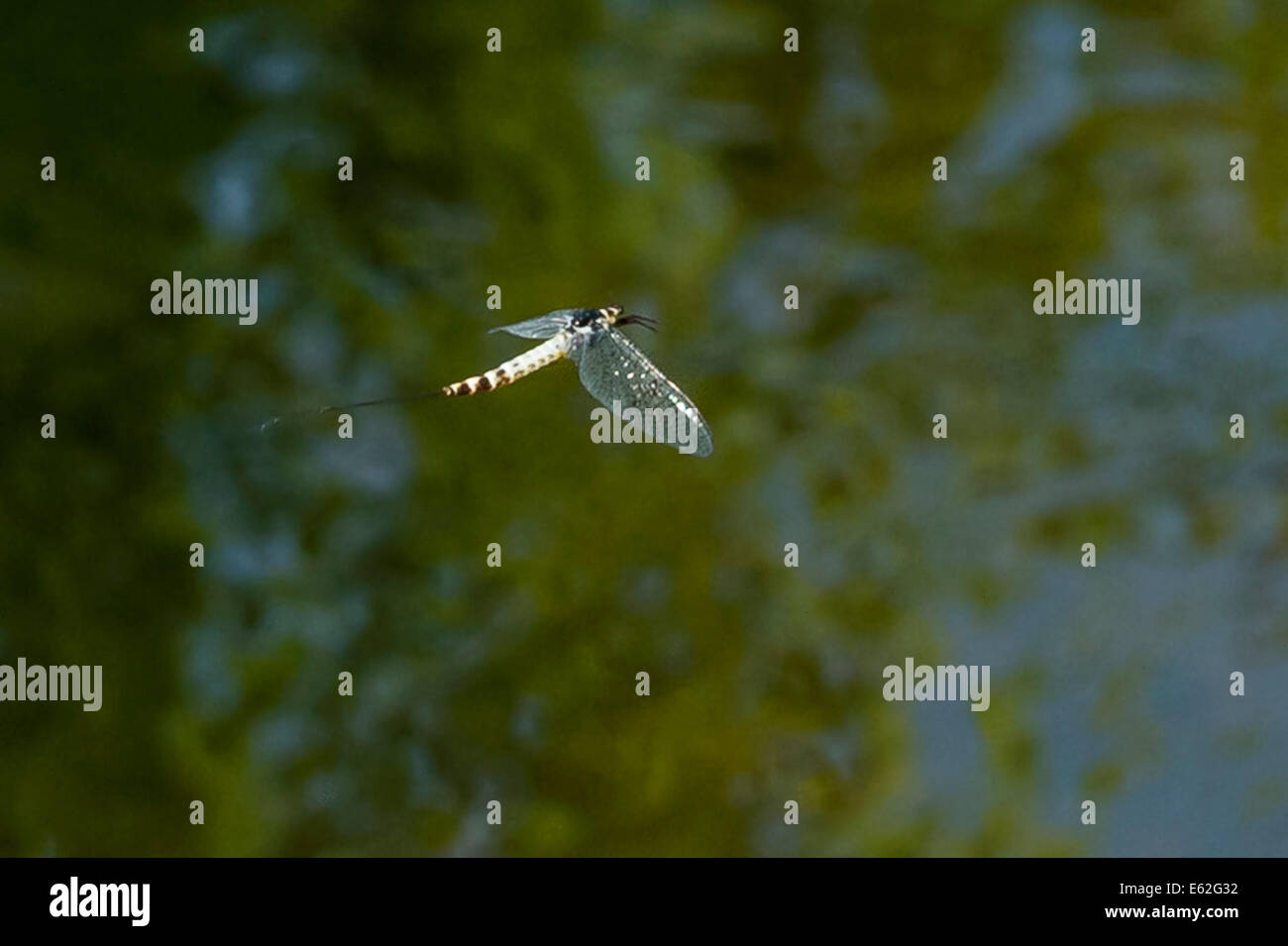 A Mayfly flying during a June hatch - Stock Image
