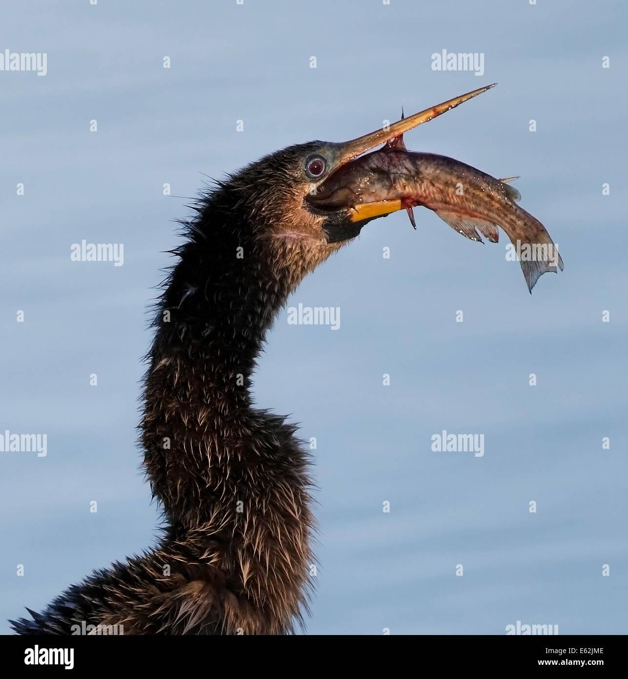 Anhinga (Anhinga anhinga) swallowing a fish in evening light - Stock Image