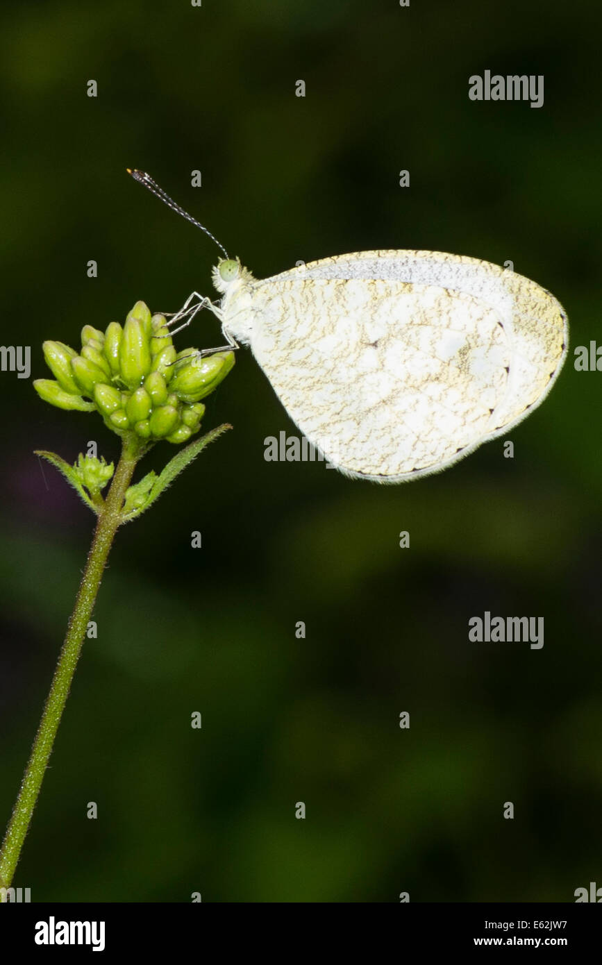 An adult Wandering Snowflake butterfly - Stock Image
