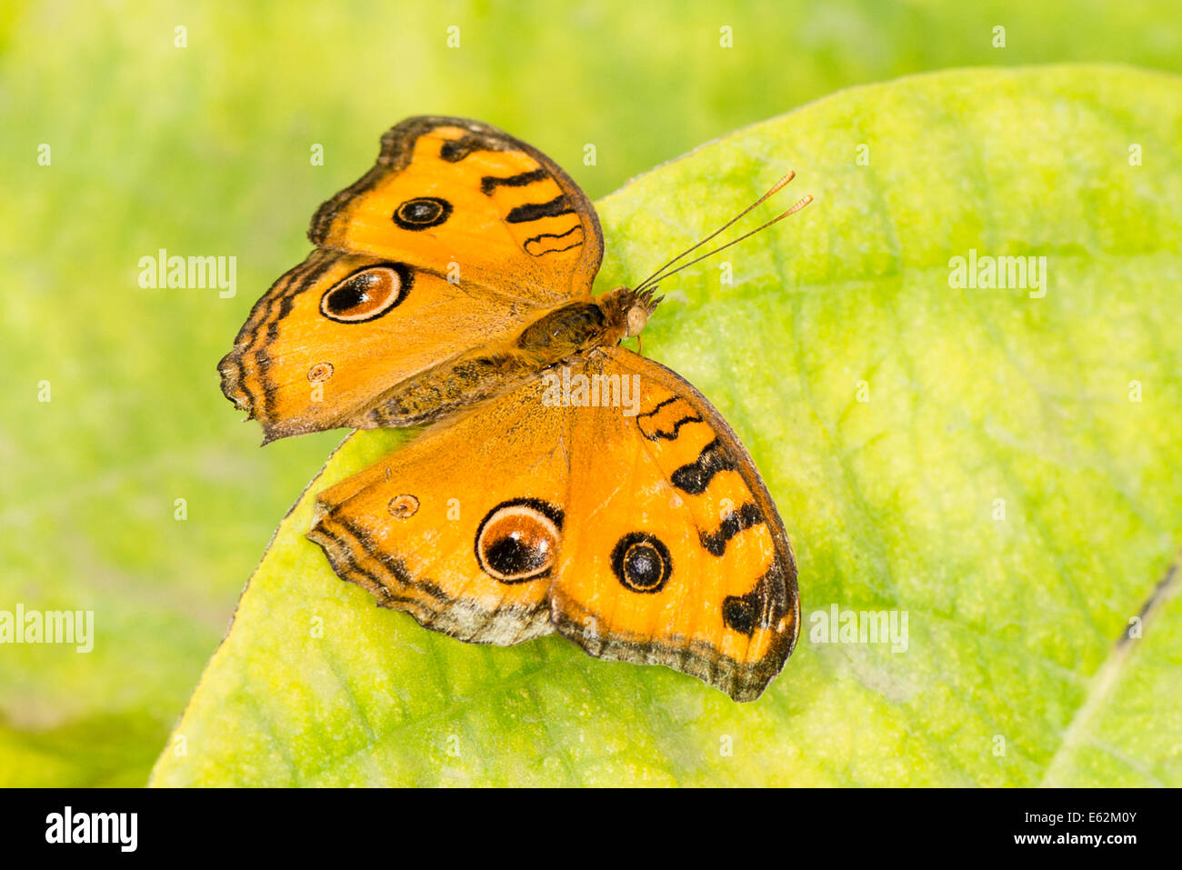 An adult Peacock Pansy butterfly - Stock Image