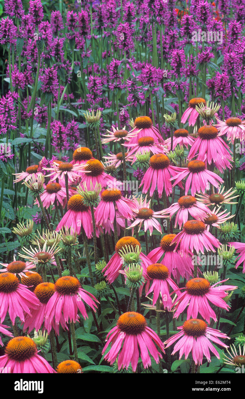 Purple Cone Flower (Echinacea purpurea Kim's Knee High) and Bishop's Wort (Stachys officinalis Hummelo). - Stock Image