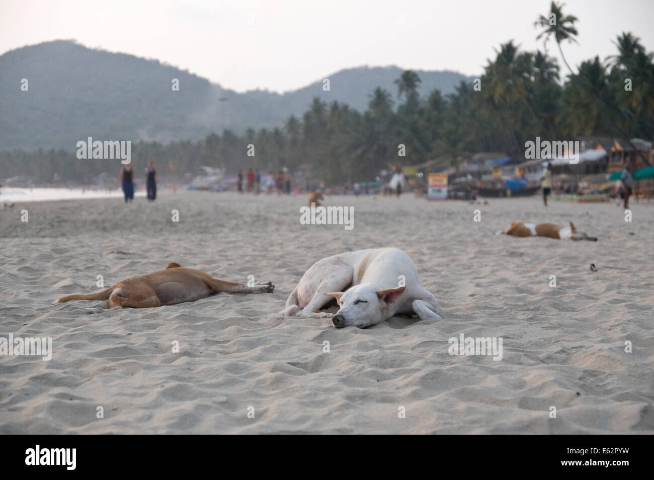 Beach dogs sleeping at Palolem Beach in Goa, India. - Stock Image