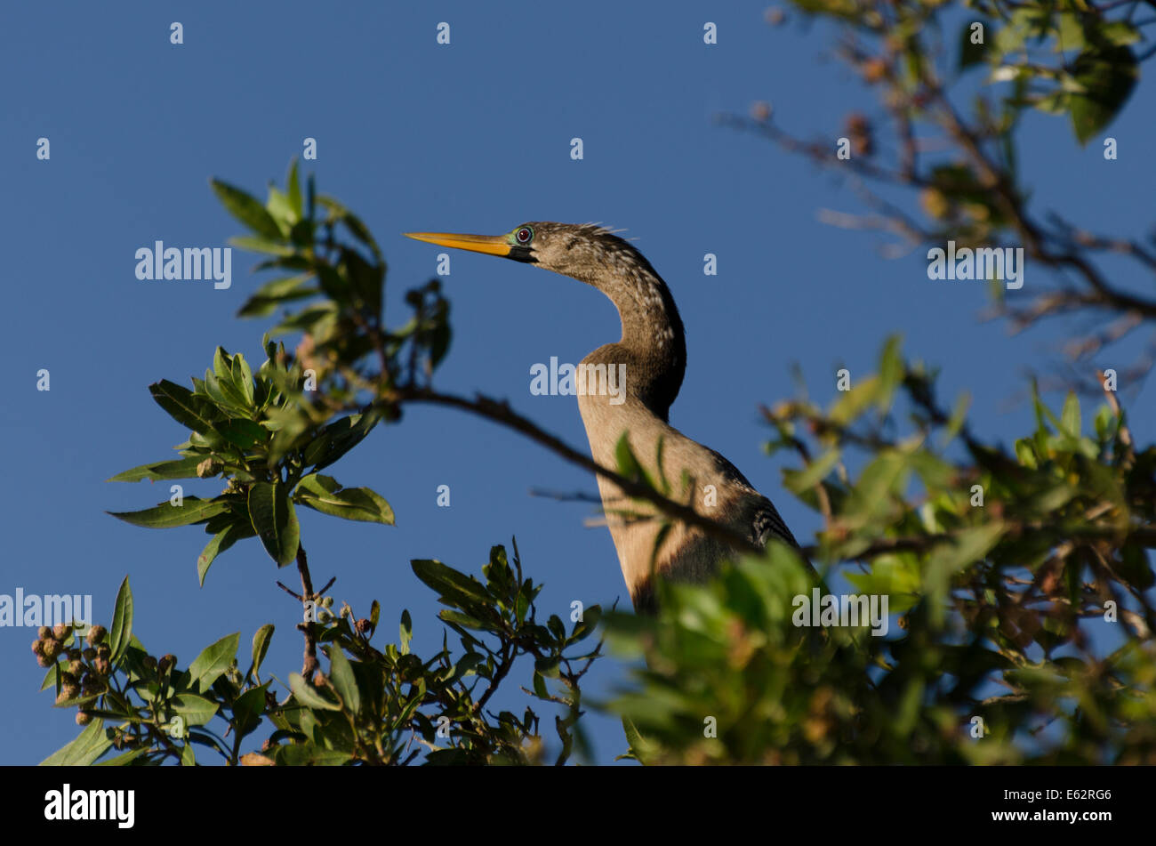An Anhinga (Anhinga anhinga) female suns in a mango tree along the Pacific Coast of Central Mexico. - Stock Image