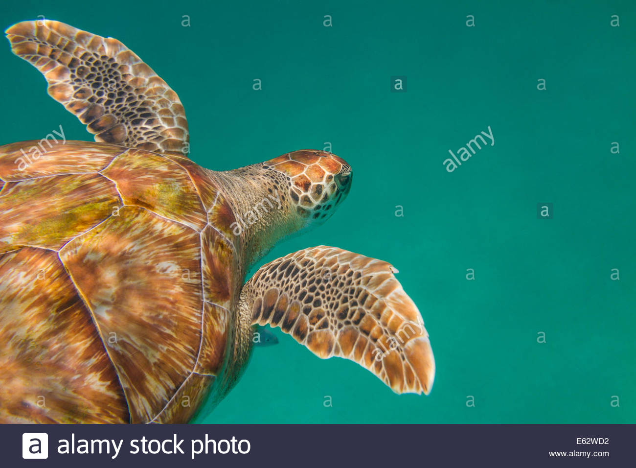 A hawksbill sea turtle (Eretmochelys imbricata) glides above the sea floor off the coast of Barbados - Stock Image