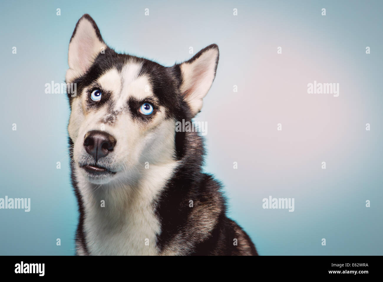 Siberian husky looks upward, remorsefully - Stock Image
