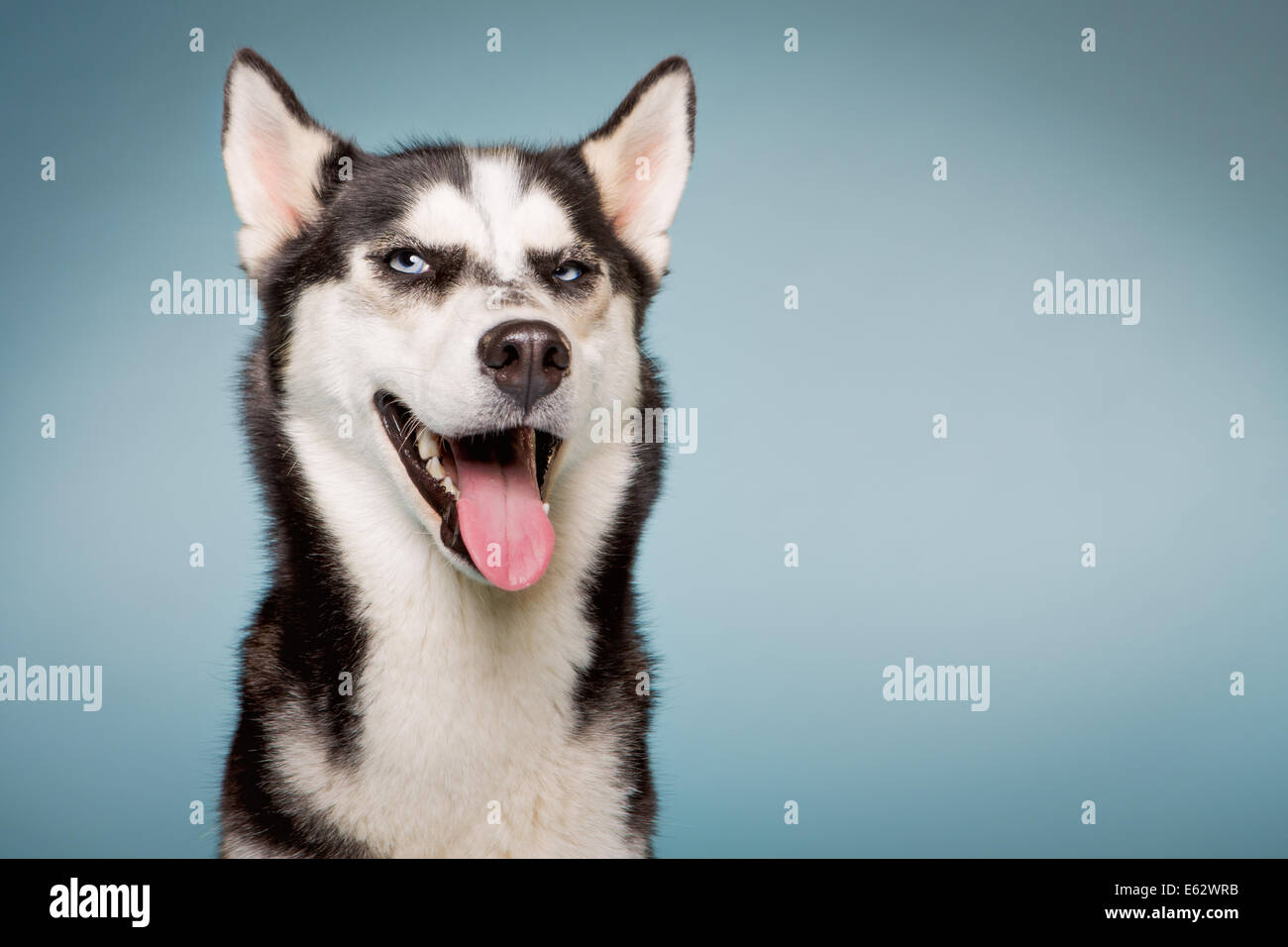 Siberian husky dog looks slyly out of the corner of her eyes - Stock Image