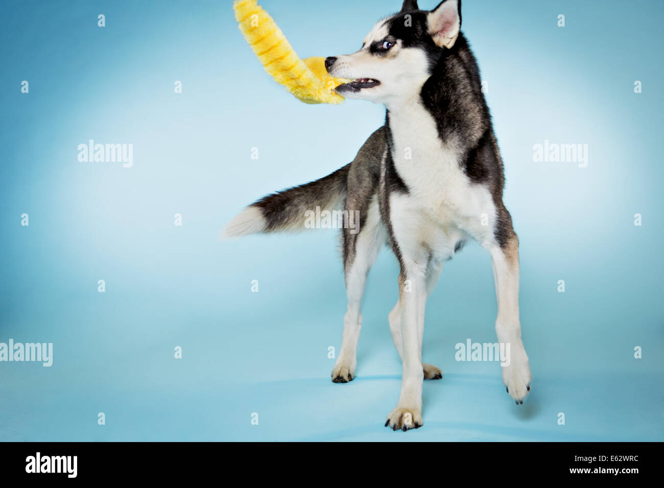 Alaskan husky dog playing with toy in studio - Stock Image
