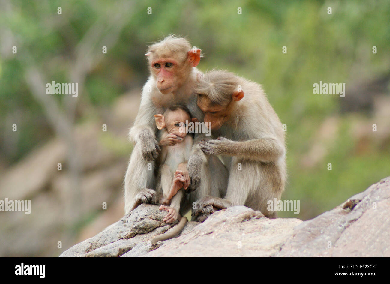 Monkeys family with baby Macaque Monkey Love and caring India Wildlife - Stock Image
