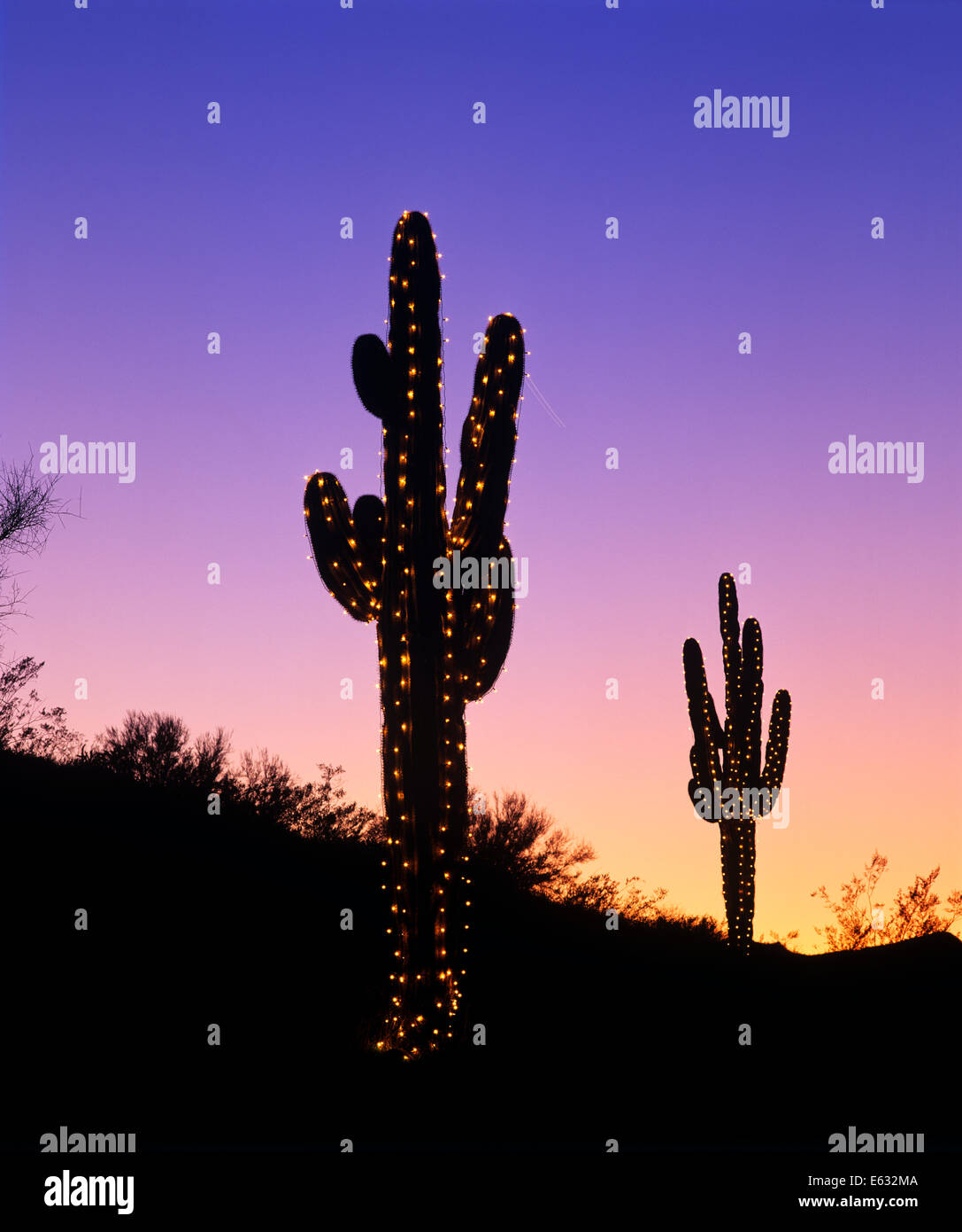 saguaro cactus decorated with christmas lights phoenix arizona stock image