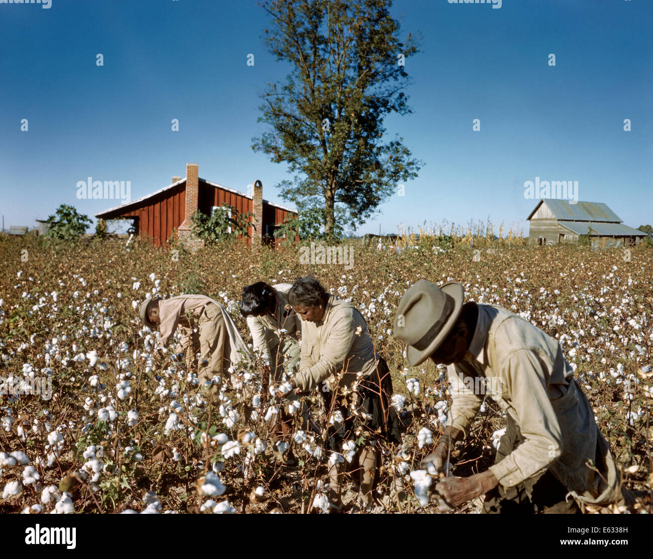 1950s African American Share Croppers Picking Cotton By