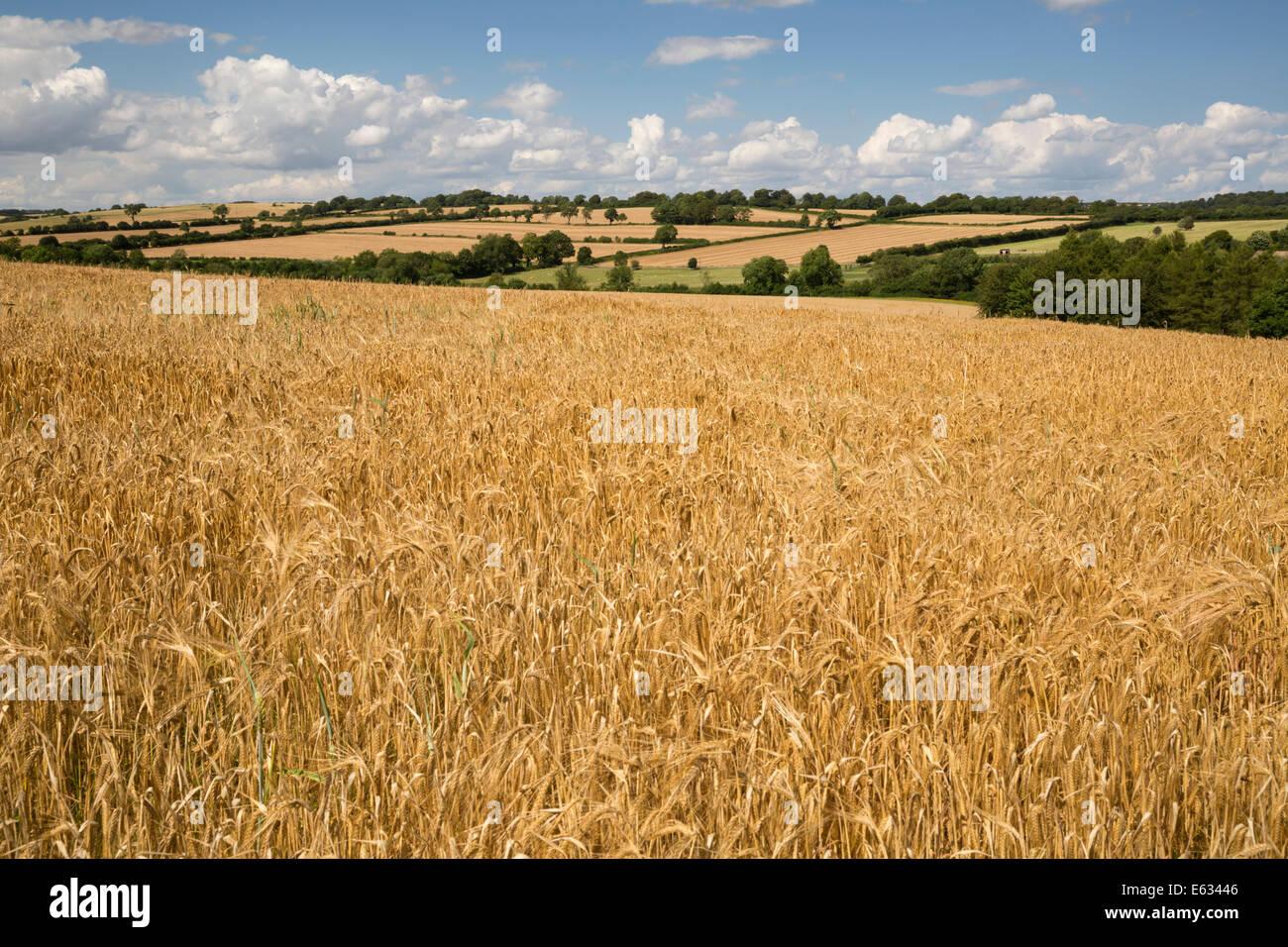 Wheat fields, Guiting Power, Cotswolds, Gloucestershire, England, United Kingdom, Europe - Stock Image