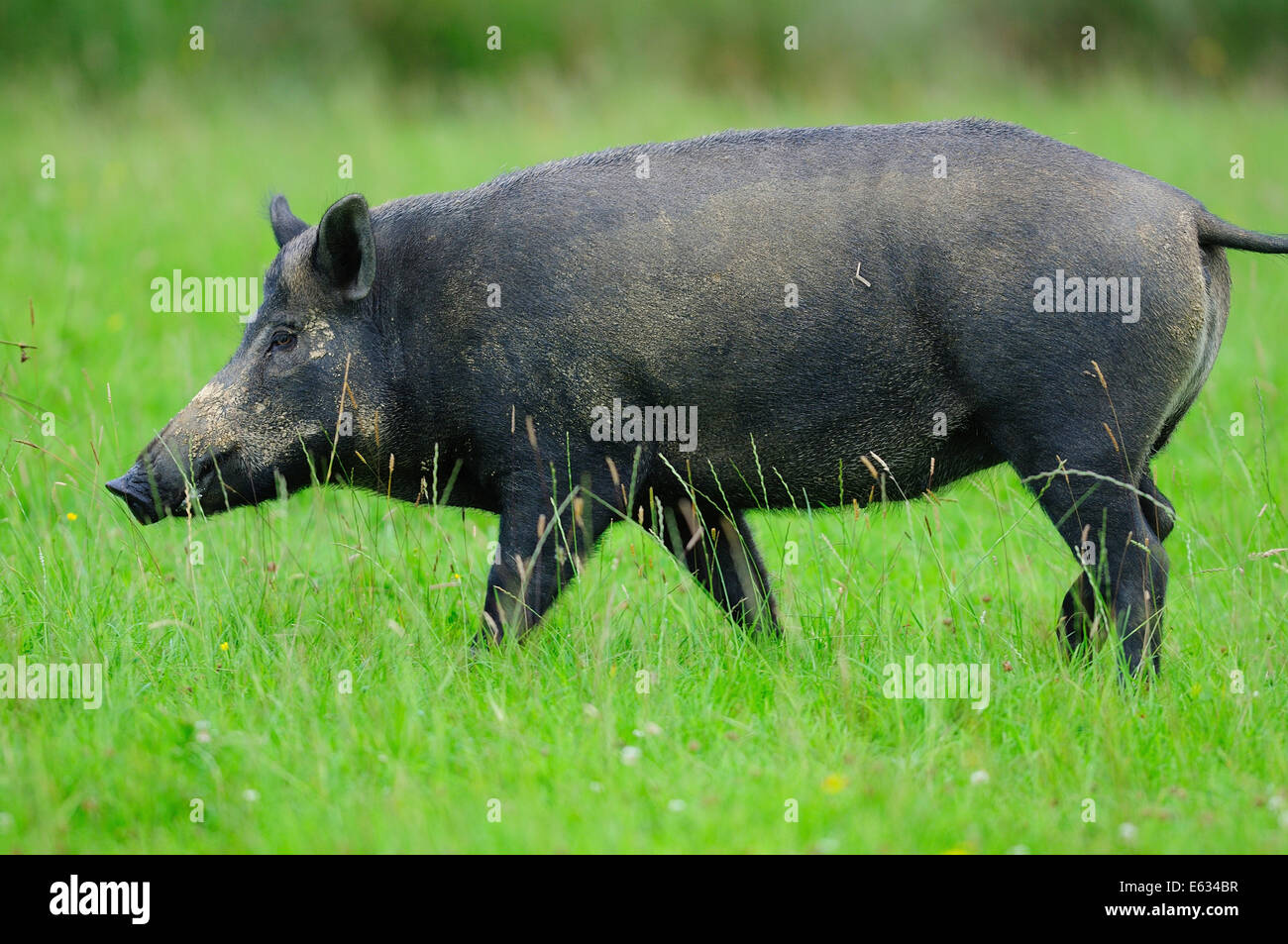 Female wild boar in field - Stock Image