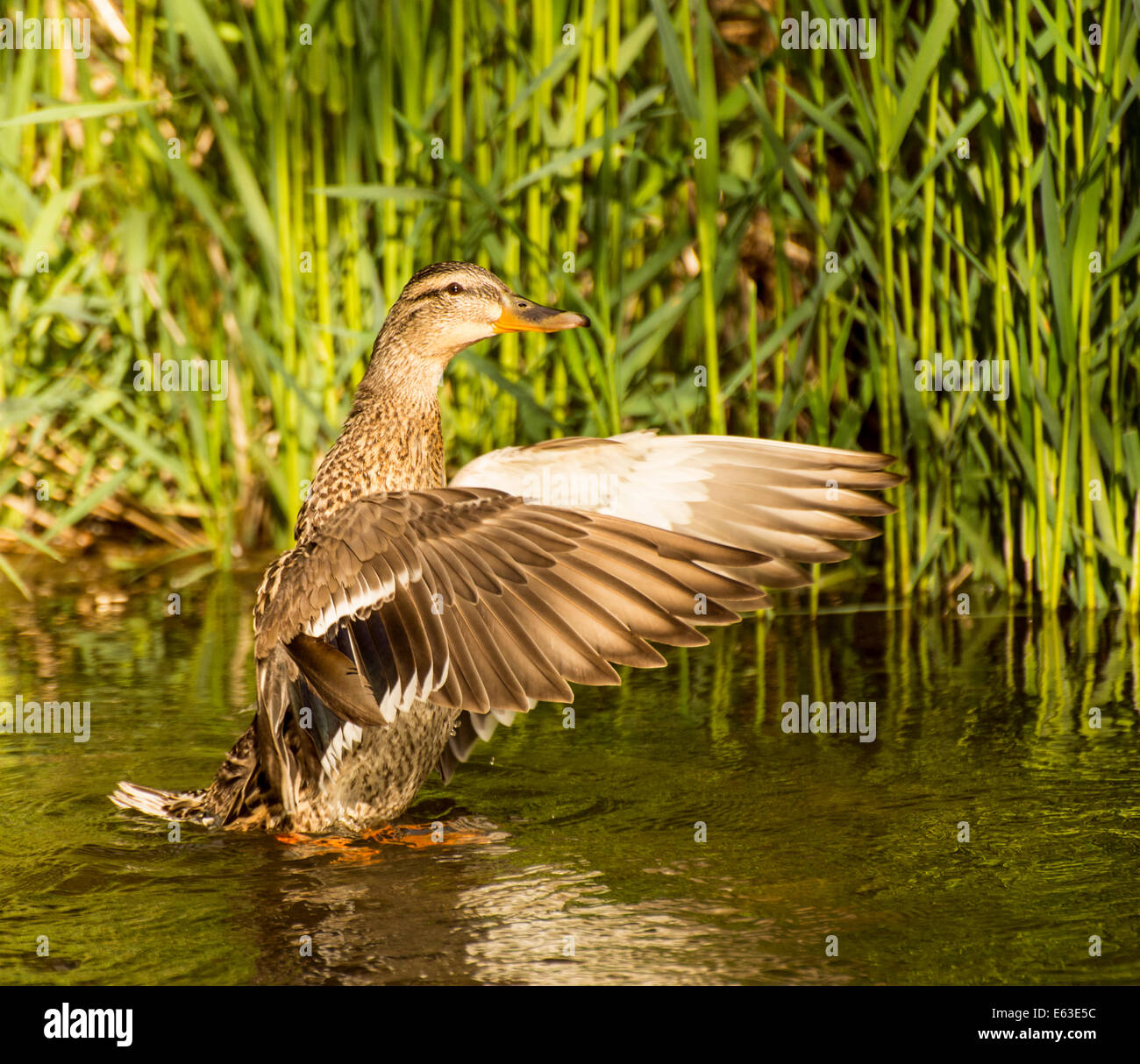 Wildlife, Water Birds, Close-up of Mallard female duck flapping her wings in Idaho River. Boise, Idaho, USA - Stock Image