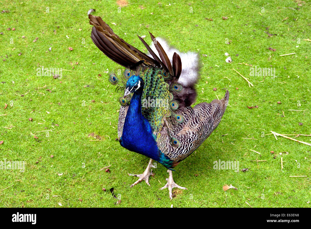 Peafowl are two Asiatic and one African species of flying bird in the genus Pavo of the pheasant family, Phasianidae. - Stock Image