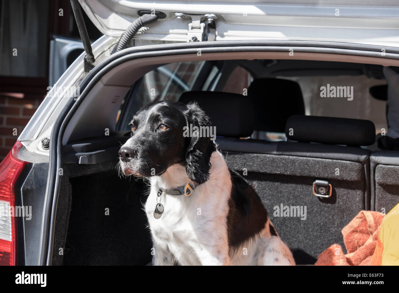 A black and white adult English Springer Spaniel dog sitting patiently in a hatchback car boot with tailgate door - Stock Image