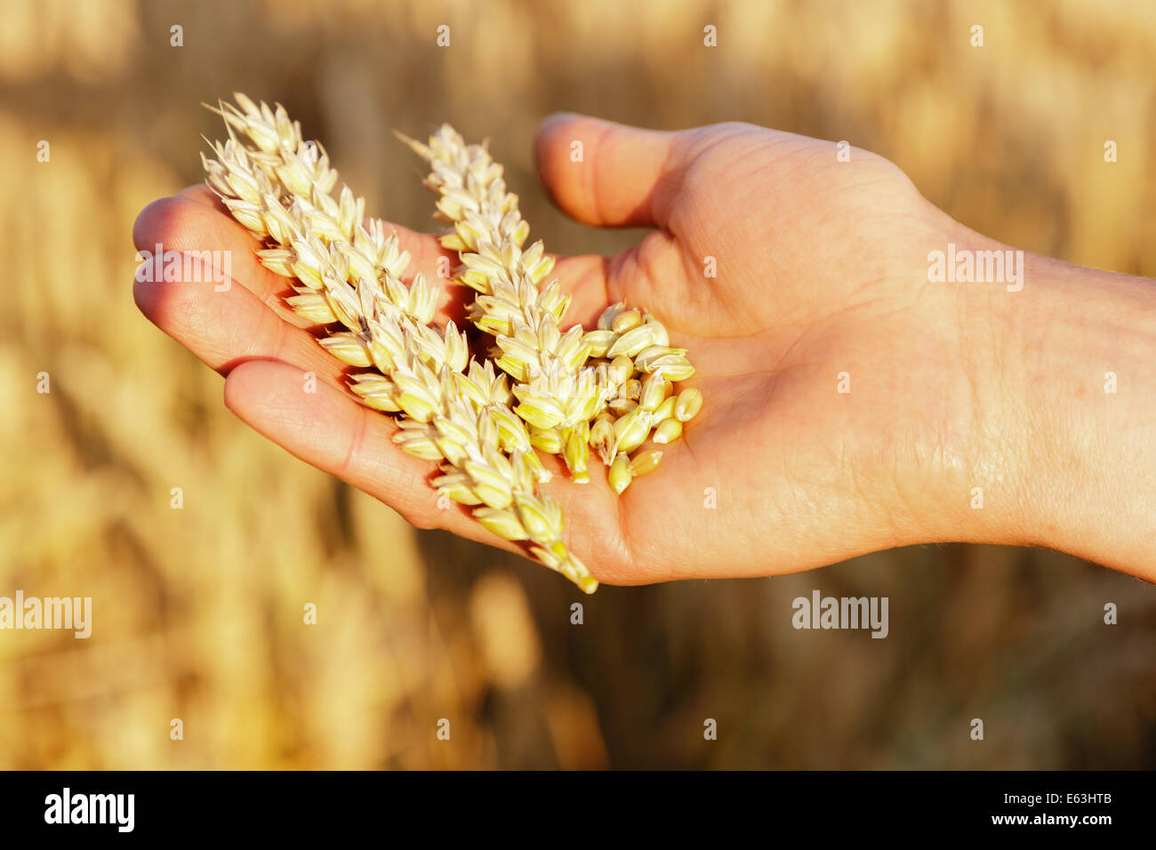 Ear of wheat and grains in a men's hand - Stock Image