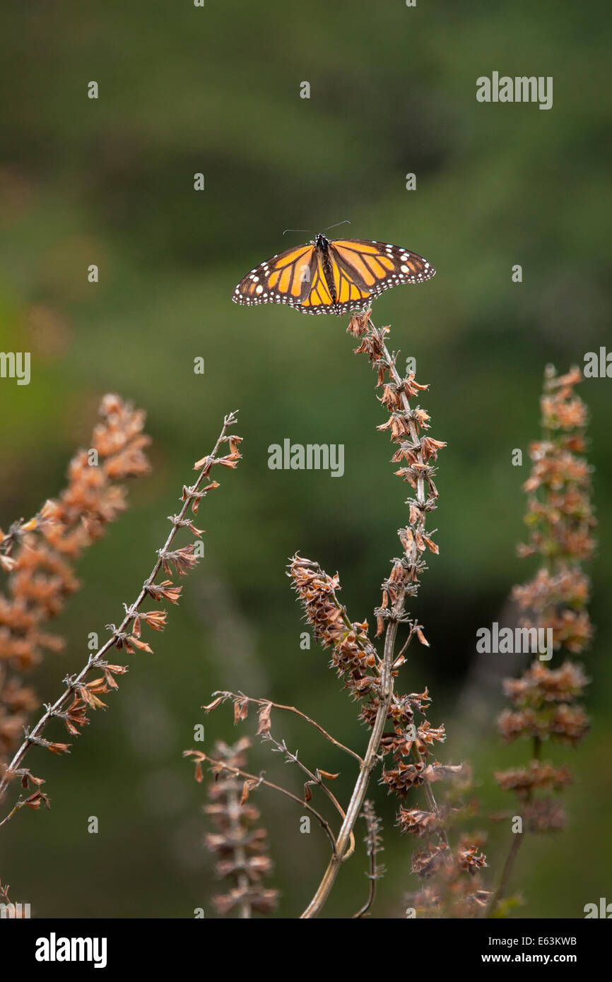 A monarch butterflies (Danaus plexippus) perched on a dead plant at the Monarch Butterfly Sanctuary in Mexico. - Stock Image