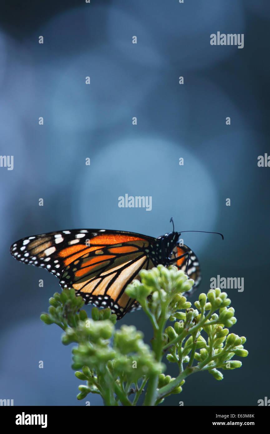 A single monarch butterfly (Danaus plexippus) at the Monarch Butterfly Sanctuary El Rosario in Michoacan, Mexico. Stock Photo