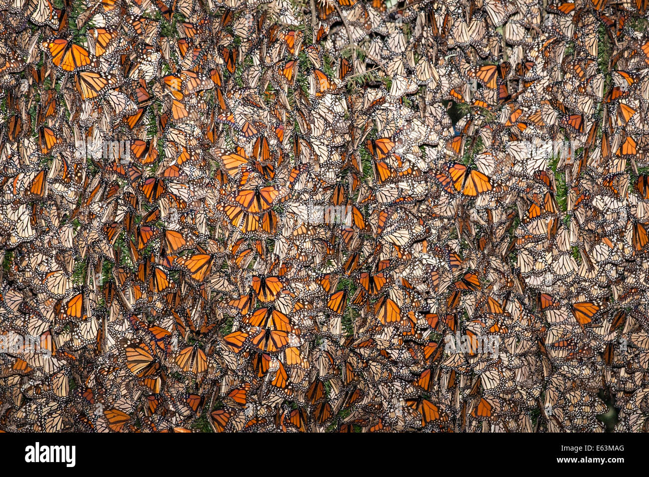 Thousands of monarch butterflies (Danaus plexippus) cling to an Oyamel Pine tree at the Monarch Butterfly Sanctuary - Stock Image