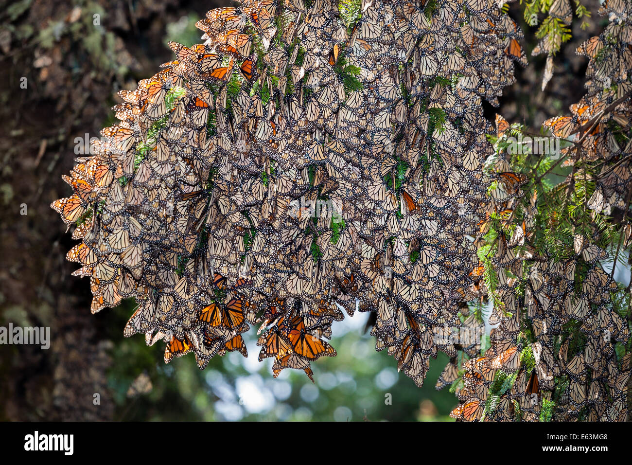 Hundredes of monach butterflies cling to an oyamel fir tree in the Rosario Sanctuary, Michoacan, Mexico. - Stock Image