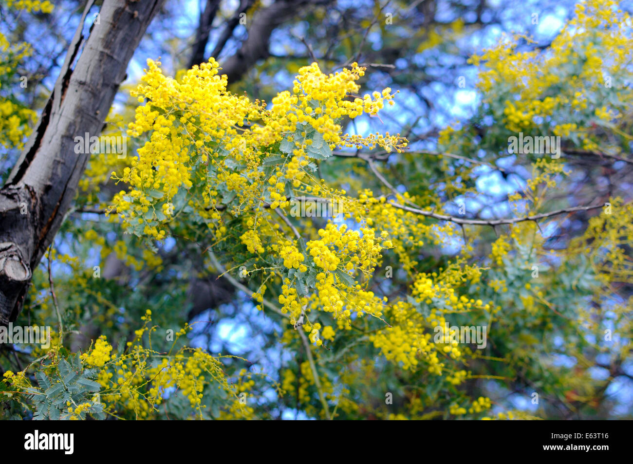 Close Up Of Yellow Wattle Australian Native Acacia Tree Cultural