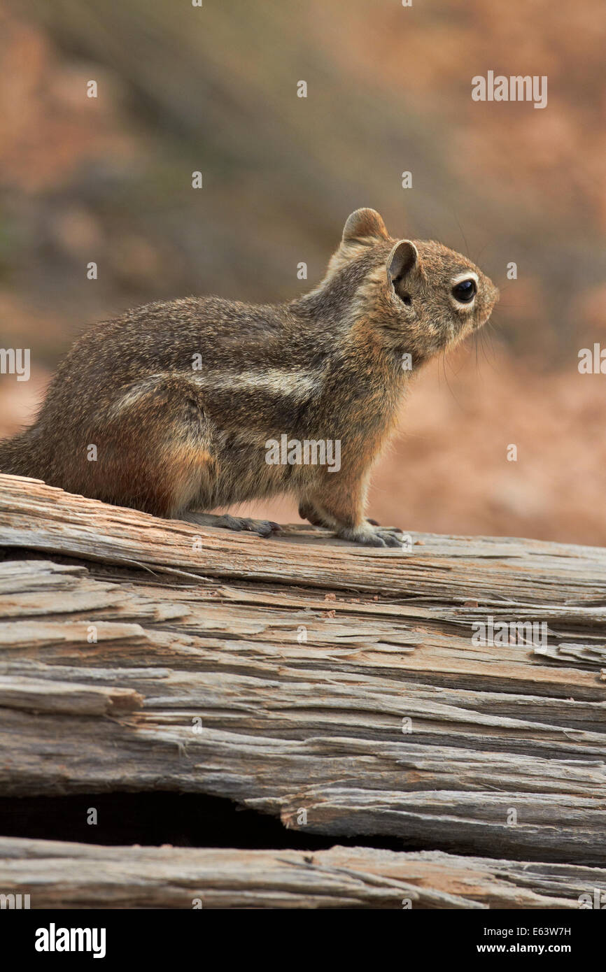 Golden-mantled ground squirrel (Callospermophilus lateralis), Bryce Canyon National Park, Utah, USA - Stock Image