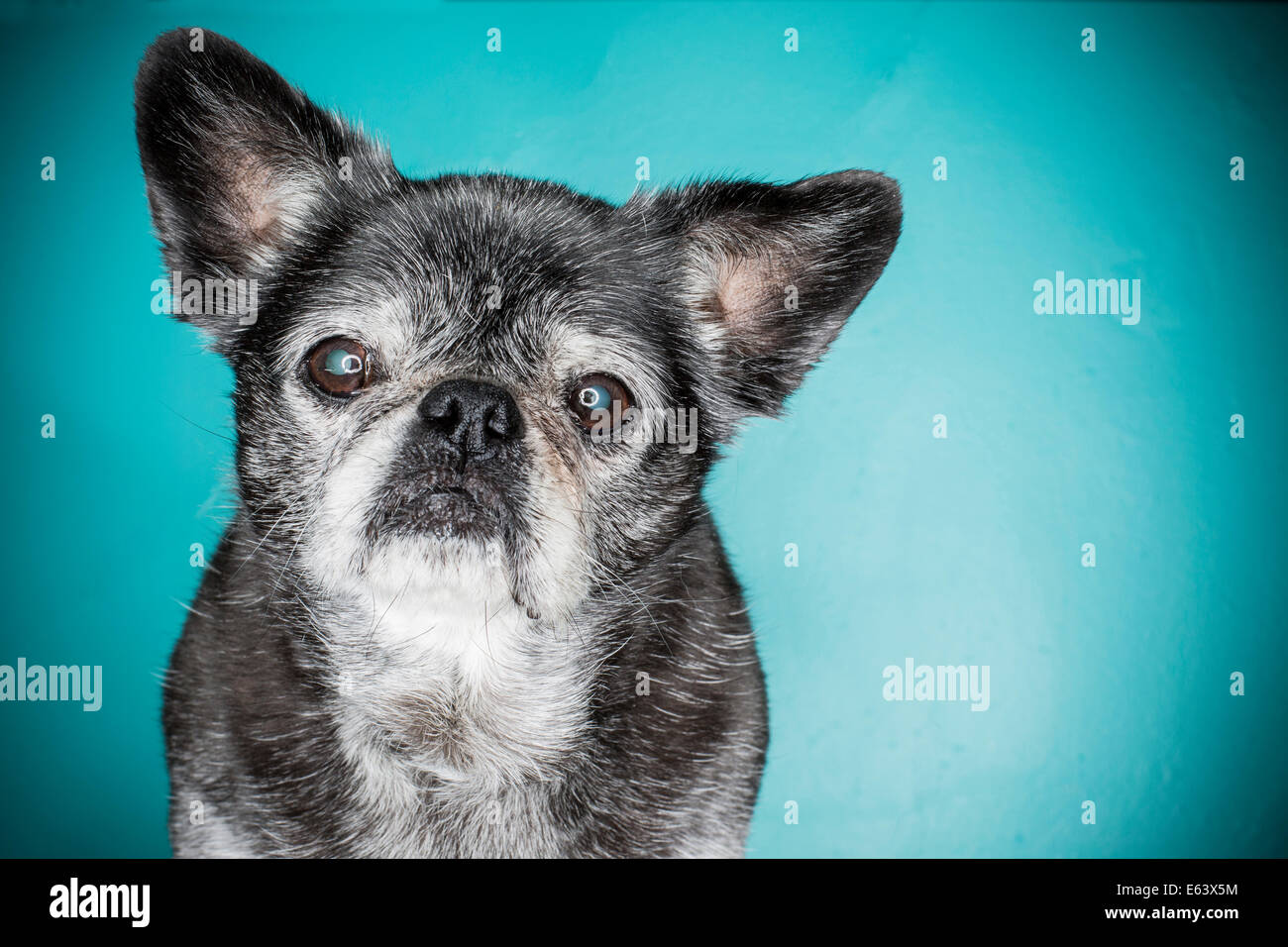 An old gray haired dog, pug dog, lit with a ring flash strobe against a blue background - Stock Image