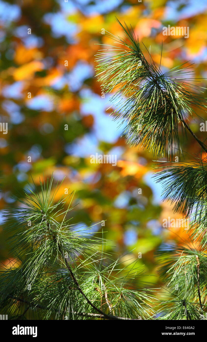 Branches and needles of a conifer with fall color in the background - Tennessee, USA. - Stock Image