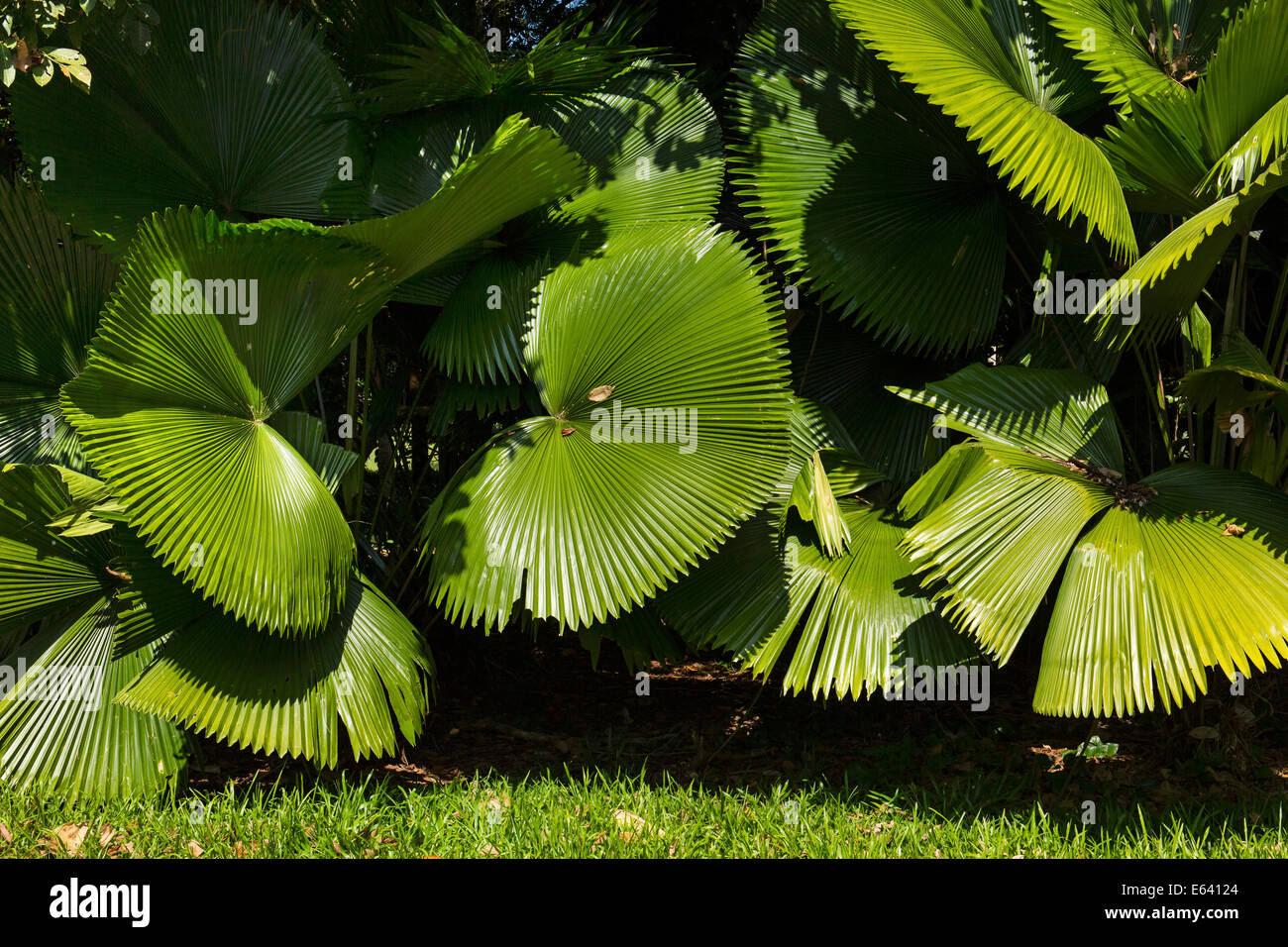 Huge palm fronds in the botanical garden of the Mae Fah Luang Art and Culture Park, Chiang Rai Province, Chiang - Stock Image