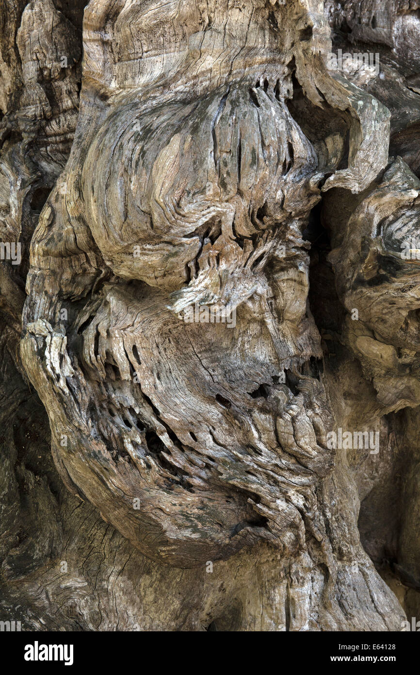 Huge root tuber, Mae Fah Luang Art and Culture Park, Chiang Rai Province, Chiang Rai Province, Northern Thailand, - Stock Image