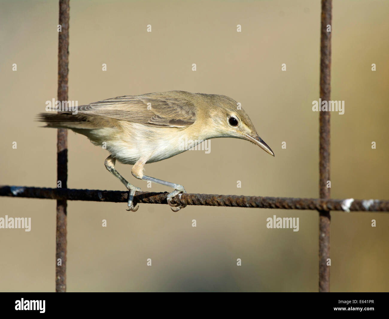 Olive-tree Warbler (Hippolais olivetorum) perched on a wire fence. Greece Stock Photo
