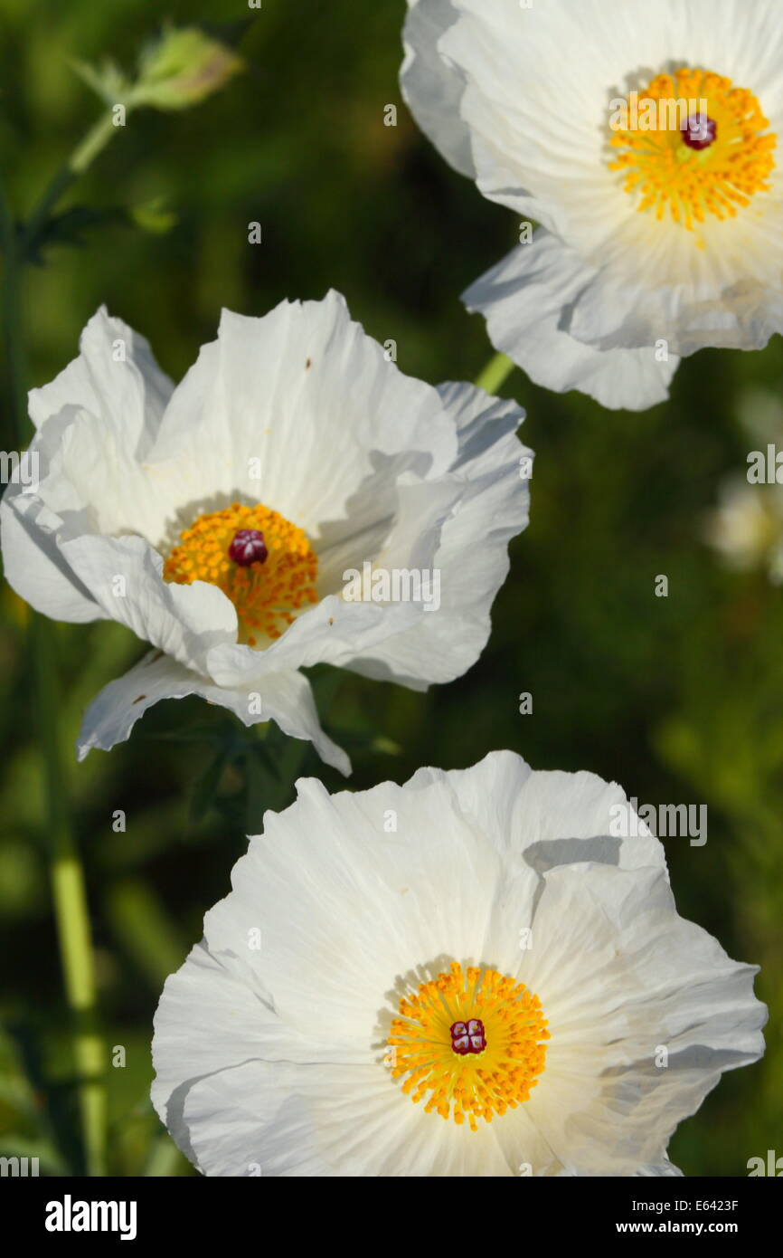 Three White Poppy Flowers In Texas Usa Stock Photo 72618883 Alamy