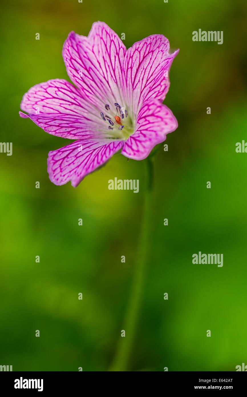 Pink campion flower stock photos pink campion flower stock images single pink campion flower stock image mightylinksfo