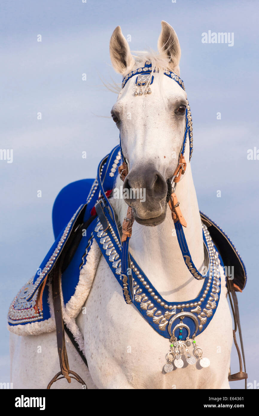 Arabian Horse Gray Mare With Traditional Tack And Saddle Egypt Stock Photo Alamy
