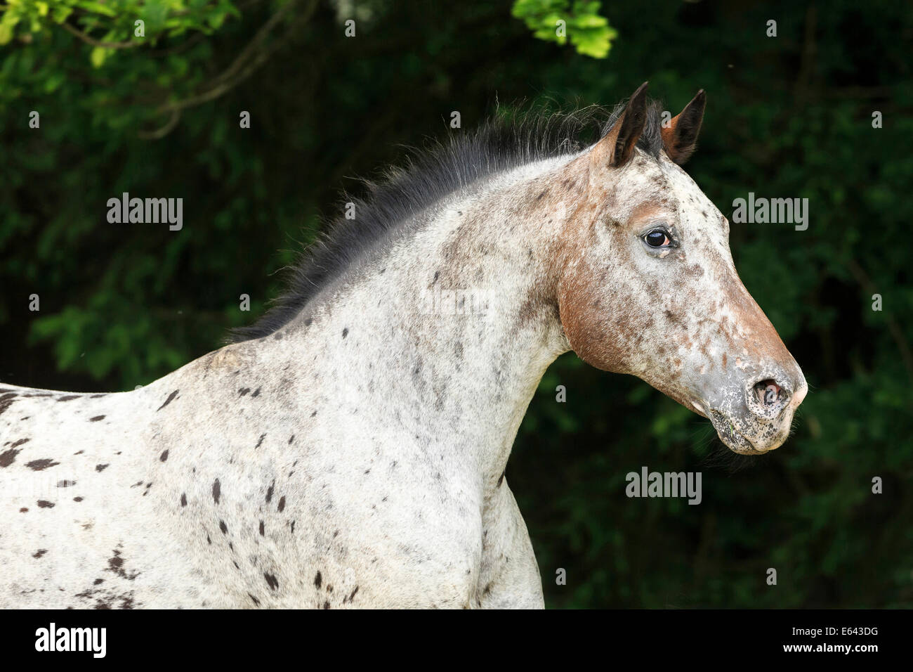 Appaloosa x Pura Raza Espanola  Portrait of a mare with