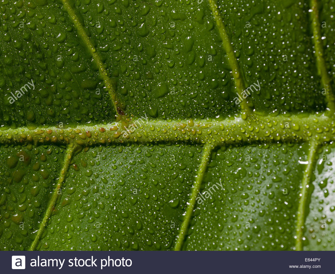 Close up of dew droplets and veins on green leaf - Stock Image