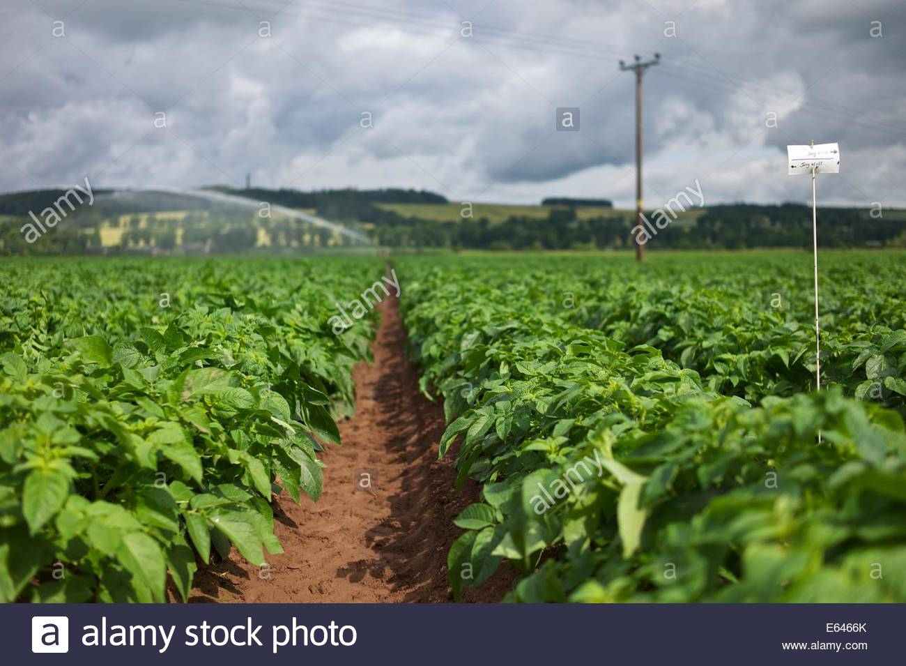 A field of potatoes being watered between the towns of Kelso and Jedburgh in the Scottish Borders. - Stock Image