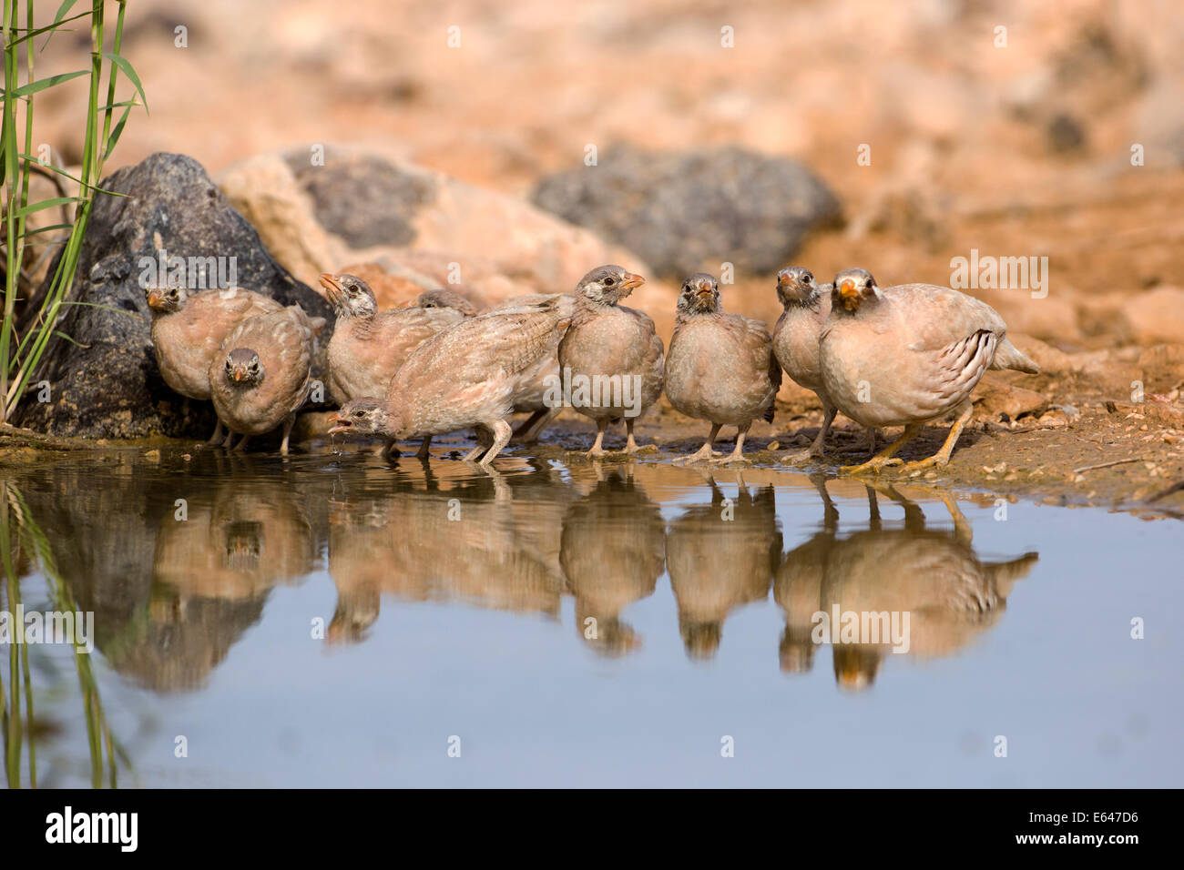 chicks of a sand partridge (Ammoperdix heyi) is a gamebird in the pheasant family Phasianidae of the order Galliformes, - Stock Image
