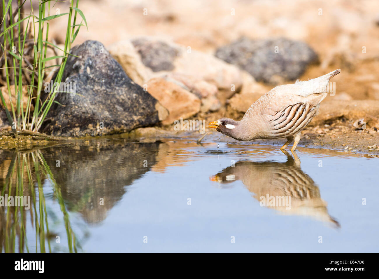 sand partridge (Ammoperdix heyi) is a gamebird in the pheasant family Phasianidae of the order Galliformes, gallinaceous Stock Photo