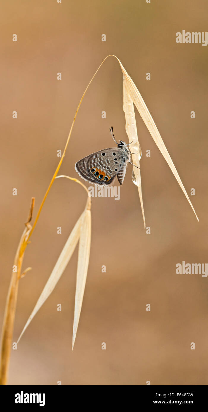 Grass Jewel (Chilades trochylus or Freyeria trochylus) Butterfly Photographed in Israel in May Stock Photo