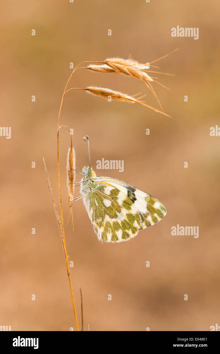 Bath White (Pontia daplidice) Butterfly  shot in Israel, in May Stock Photo