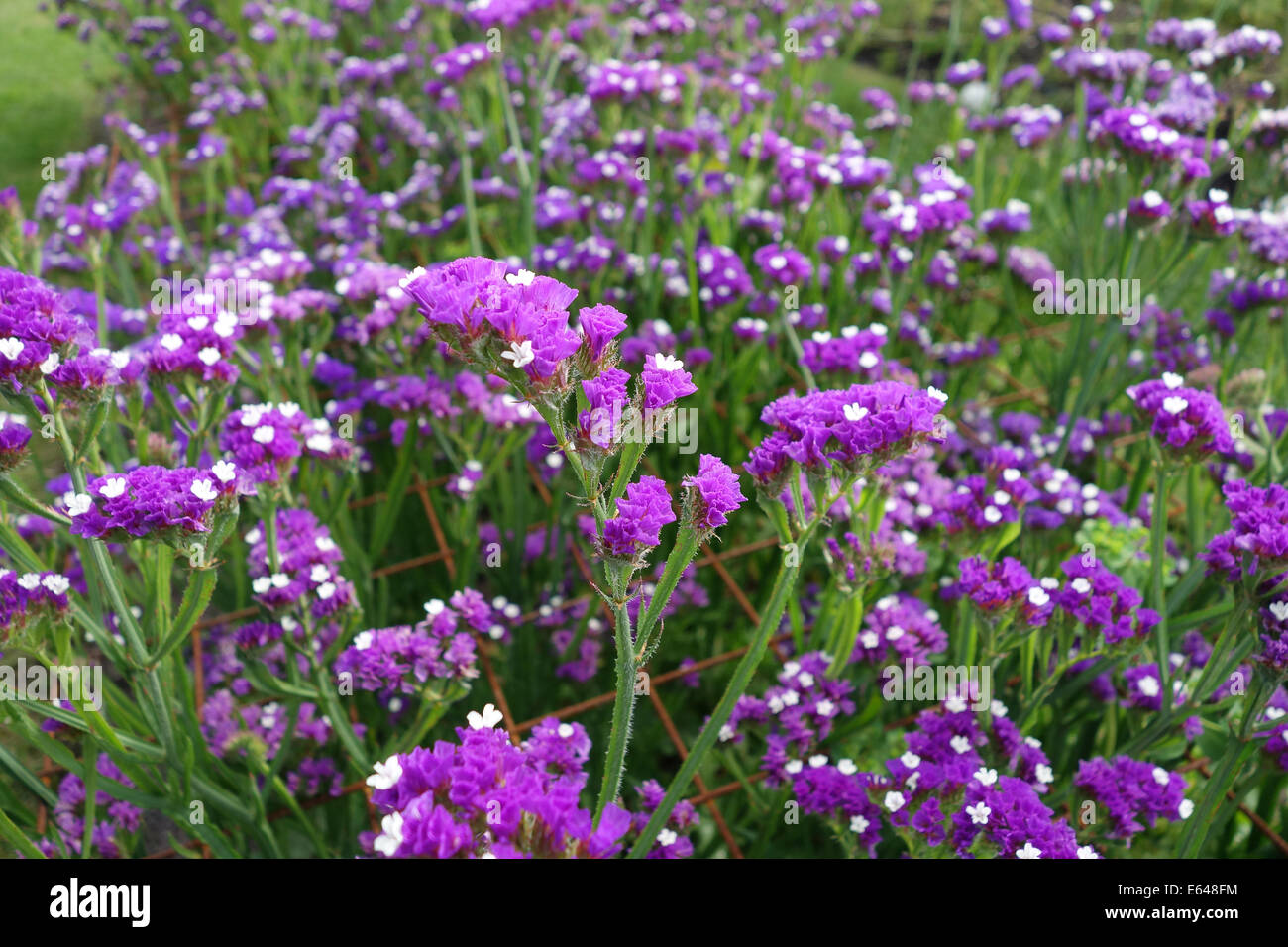 Limonium sinuatum commonly known as wavyleaf sea-lavender Uk - Stock Image