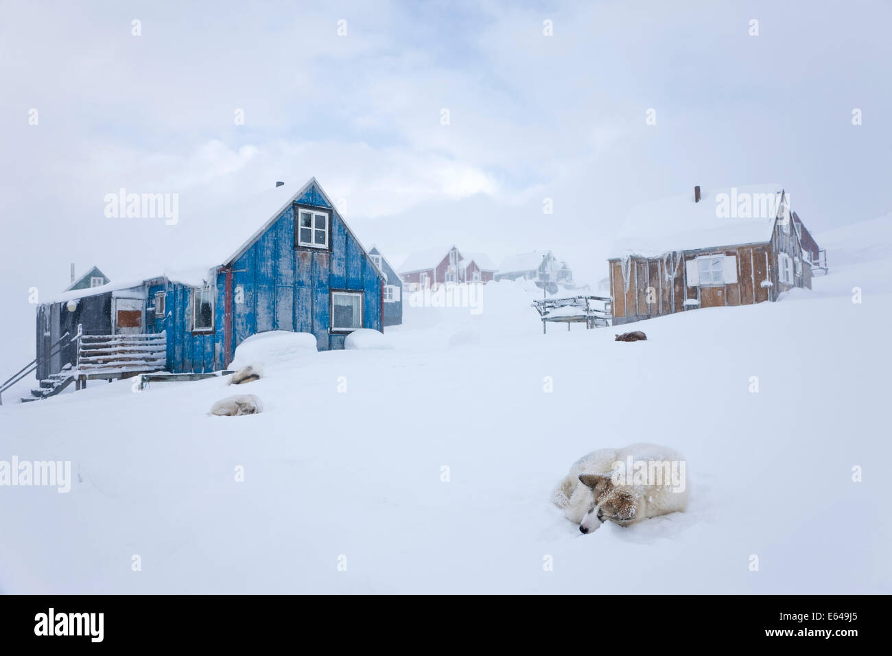 Husky in snow outside houses, Tasiilaq, Greenland - Stock Image