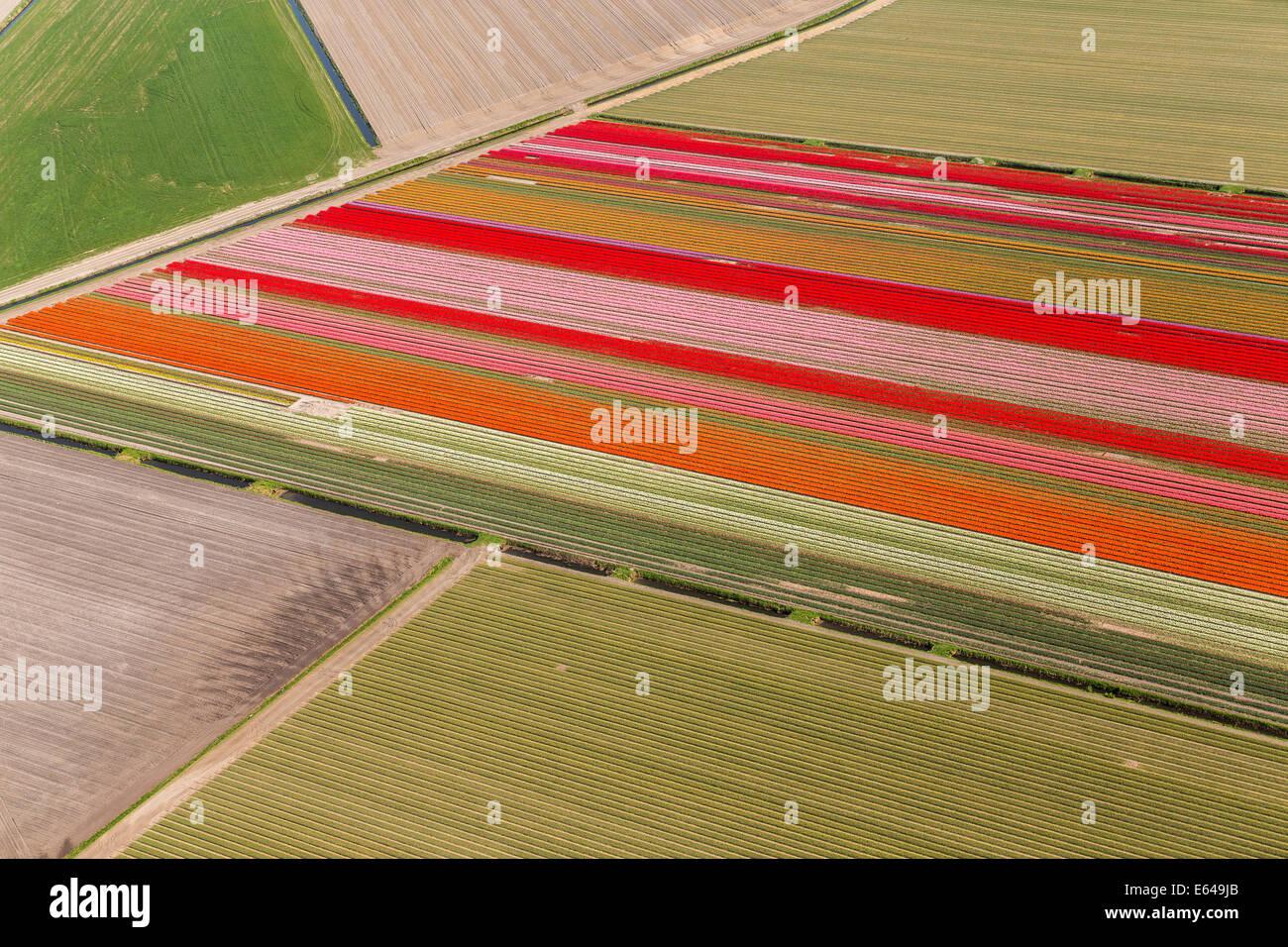 Tulip fields, North Holland, Netherlands - Stock Image