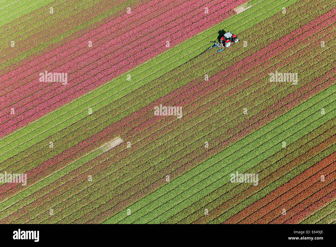 Tractor in tulip fields, North Holland, Netherlands Stock Photo