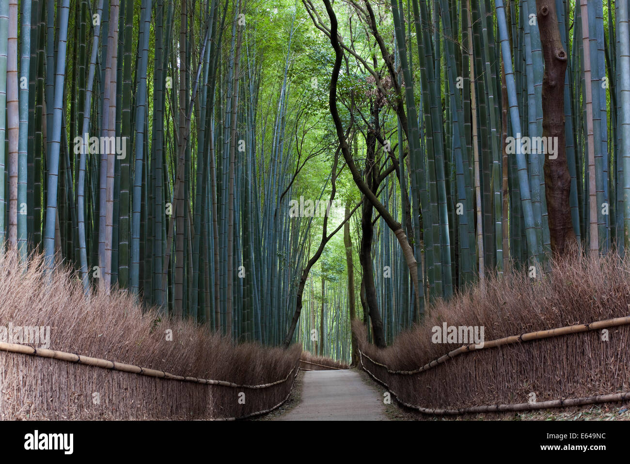 Path through bamboo forest, Kyoto, Japan - Stock Image
